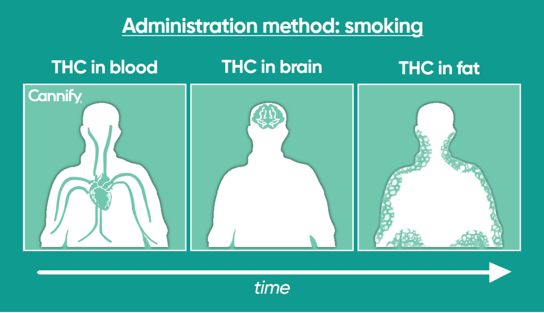 thc distribution in the body over time